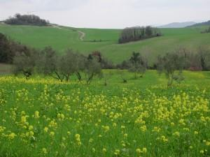 San Gimignano Fields
